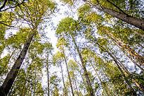 参天大树的树木群 绿色生态原始森林