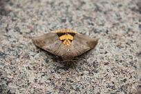 地板上漂亮的飞蛾