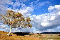 乌兰布统--白云下的白桦树