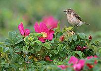 在红色花朵上休息的小麻雀