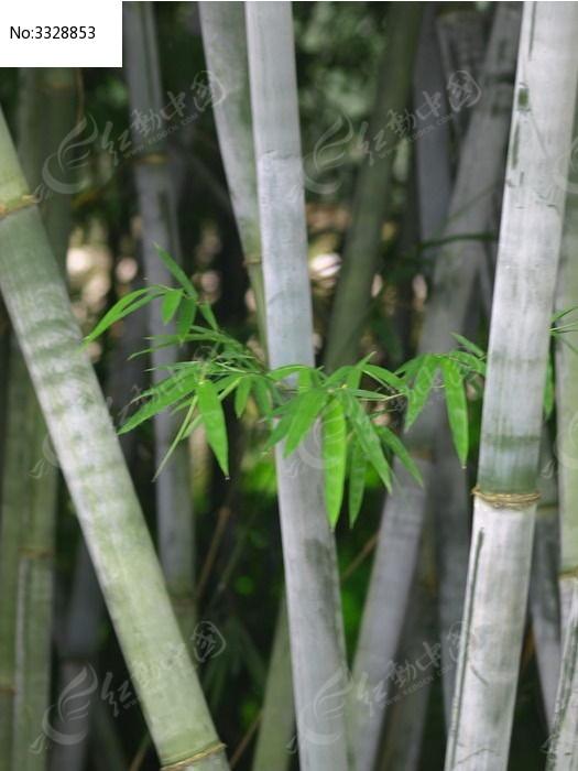 原创摄影图 动物植物 树木枝叶 竹林中的竹叶图片