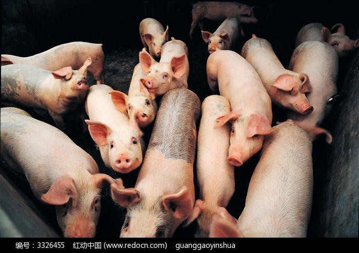 猪圈里的一群猪_陆地动物图片