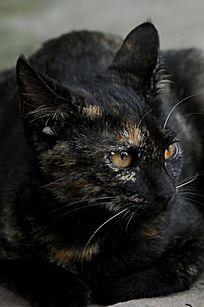 侧面的黑猫