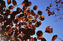 红叶俏枝头