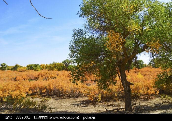胡杨树与红柳图片,高清大图_森林树林素材