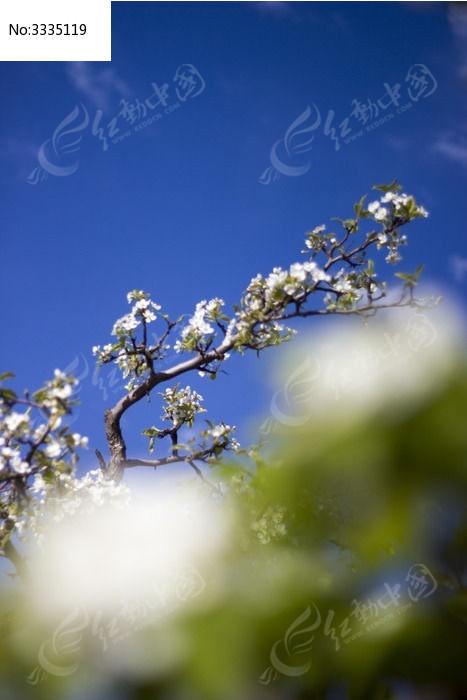 原创摄影图 动物植物 树木枝叶 蓝天梨树  请您分享: 红动网提供树木