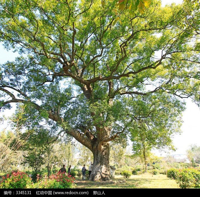 原创摄影图 动物植物 树木枝叶 千年古香樟树  请您分享: 红动网提供