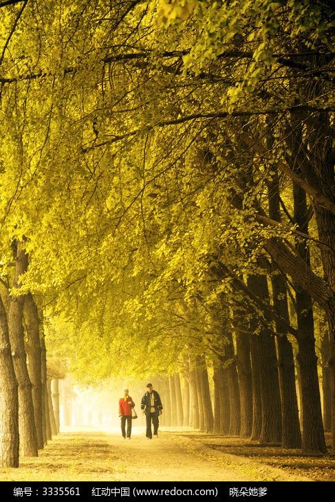 原创摄影图 自然风景 森林树林 散步在银杏大道