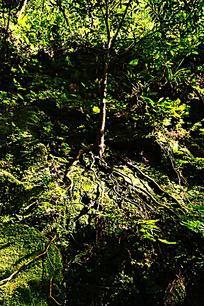 岩石藤蔓树根