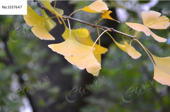 原创摄影图 动物植物 树木枝叶 银杏树叶  请您分享: 红动网提供树木