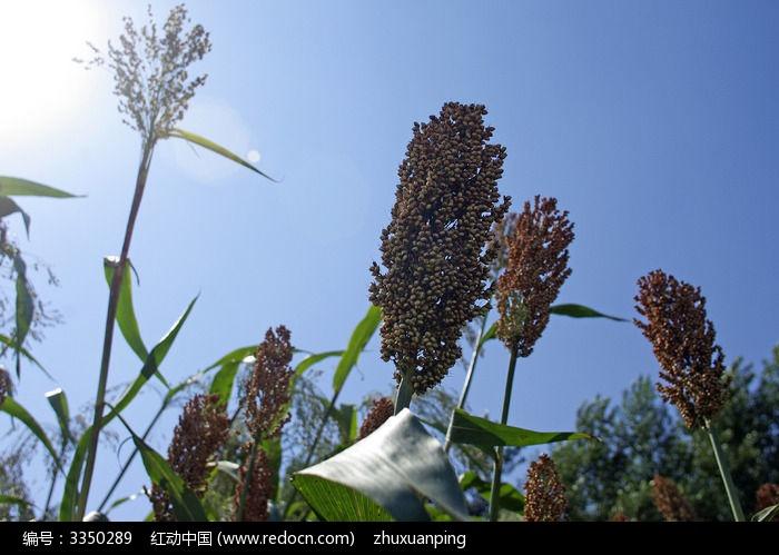 原创摄影图 动物植物 农作物 秋天的高粱地