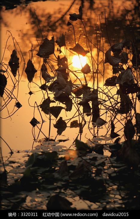 原创摄影图 动物植物 花卉花草 夕阳残荷