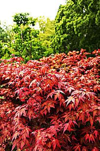 红色枫叶绿色背景