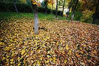 金黄色的叶子