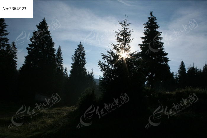 阳光下的杉树图片,高清大图_森林树林素材