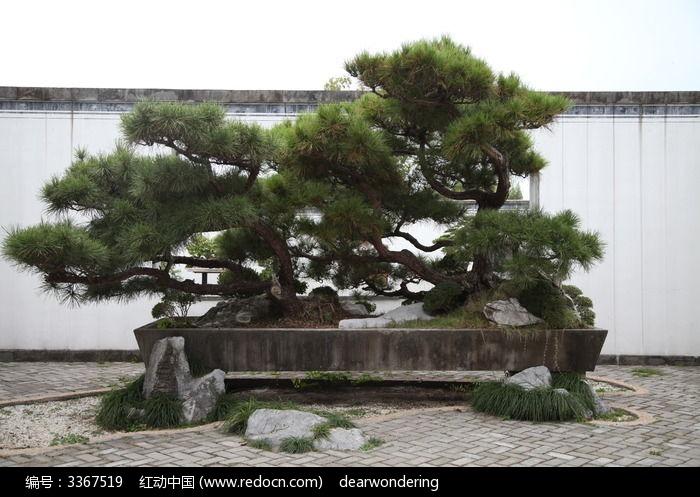 原创摄影图 动物植物 树木枝叶 大型松树盆景  请您分享: 素材描述:红
