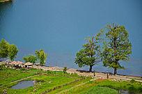 泸沽湖情人树