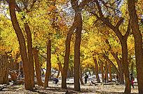 额济纳旗的胡杨树林