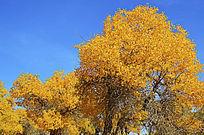 蓝天下金黄的胡杨叶子