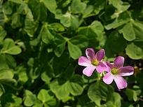 粉紫色的小花