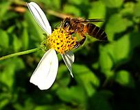 花间的蜜蜂
