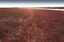 逆光下湿地红地毯