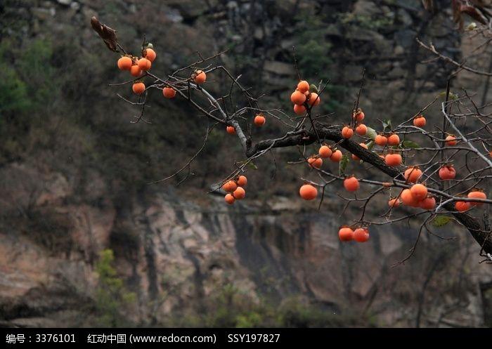 太行柿树图片,高清大图_水果蔬菜素材