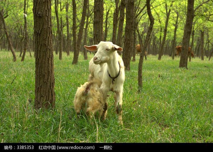 小羊哺乳图片,高清大图