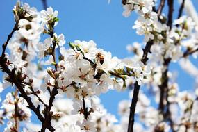 樱花  花