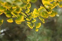 银杏叶子叶片金黄色泛绿色大片
