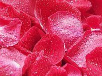 红玫瑰花瓣上的水珠图片