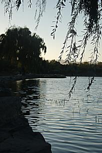 黄昏的柳树湖边