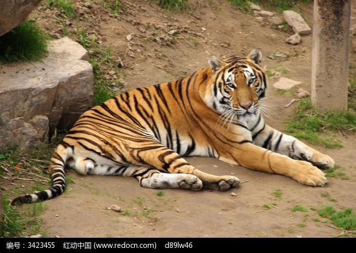 壁纸 动物 虎 老虎 桌面 700_497