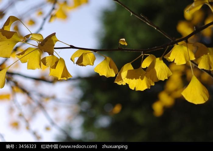 金黄的银杏叶图片