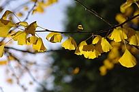 金黄的银杏叶