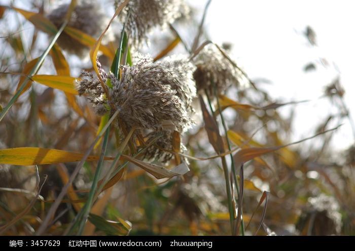 素材 芦花/植物水生植物湿地 芦花芦苇荡苇塘