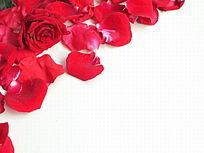 棚拍一朵红玫瑰和几片花瓣图片