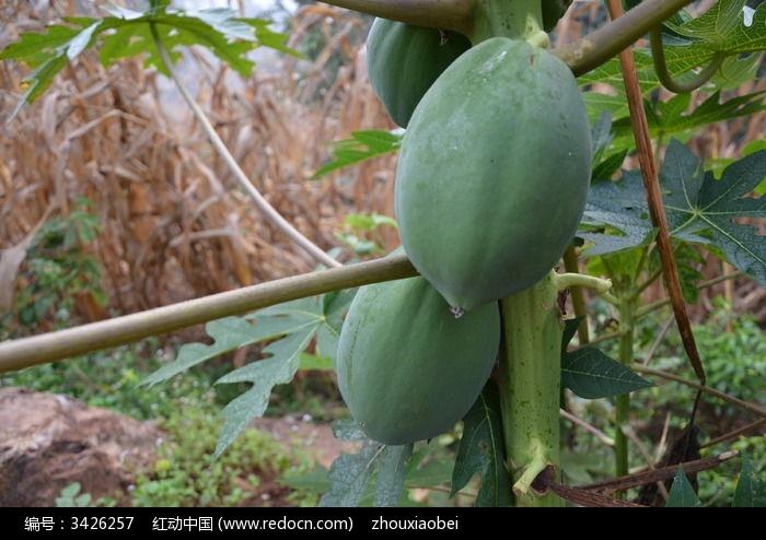 生木瓜图片,高清大图_树木枝叶素材