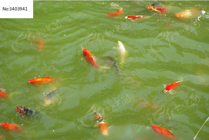 水中游动的鲤鱼图片