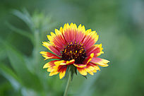 太阳花侧面黄色叶尖红色叶片杂色双色