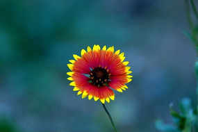 太阳花正面黄色叶尖红色叶片杂色双色