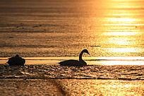 天鹅湖金色湖面与天鹅