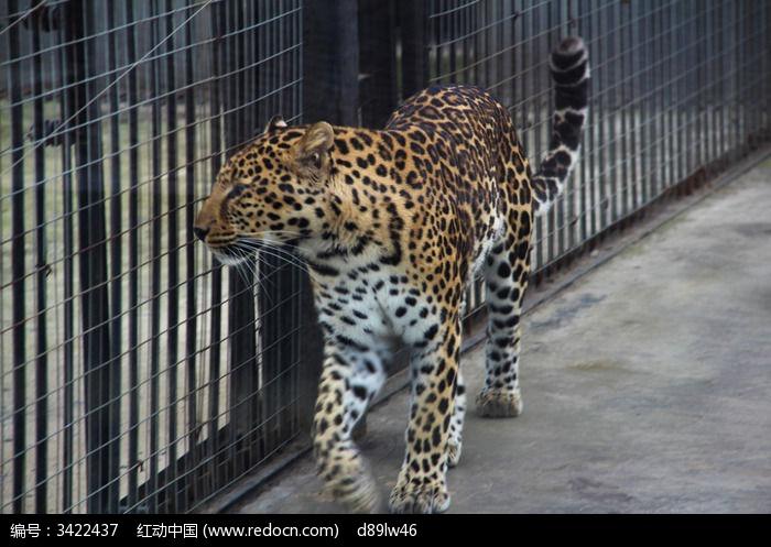 原创摄影图 动物植物 陆地动物 闲逛的金钱豹  请您分享: 红动网提供