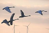 夕阳下飞行的大天鹅
