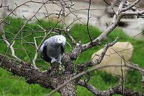 枝头的鹦鹉