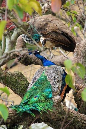 枝头的两只孔雀