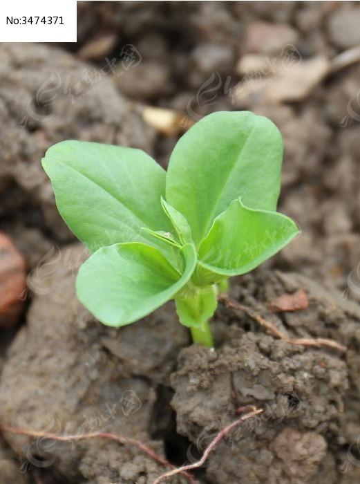 原创摄影图 动物植物 农作物 蚕豆苗