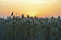 日出前夕的天空和芦苇