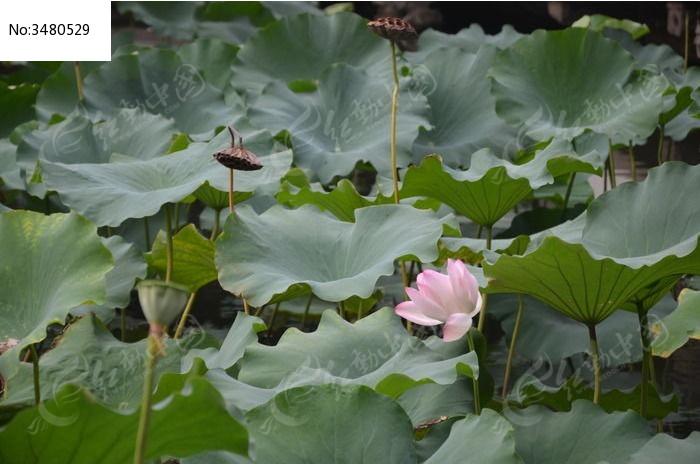 简单的彩铅手绘风景画荷花池塘