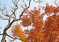 柿子树与红枫树